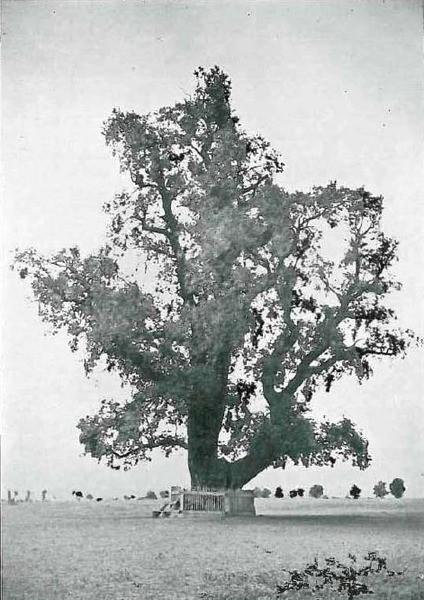 Rákóczi-fa