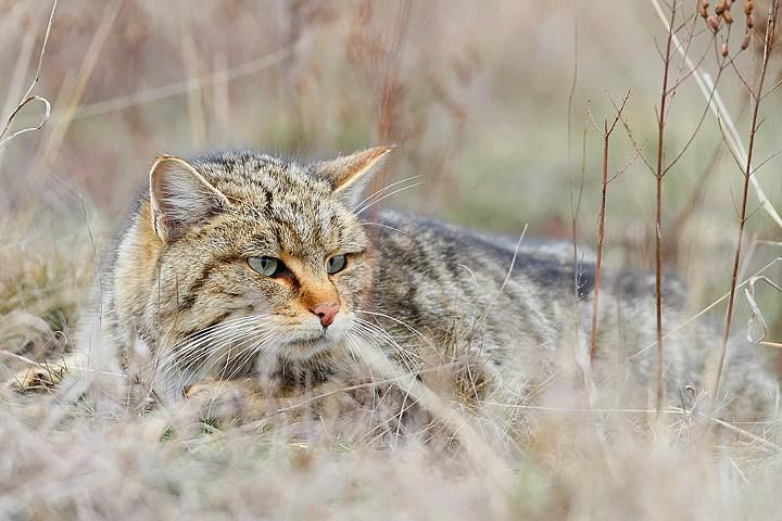 A vadmacska lett a hónap állata a Balaton-felvidéki Nemzeti Park területén